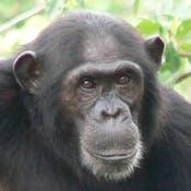 Chimpanzee Behavior and Conservation