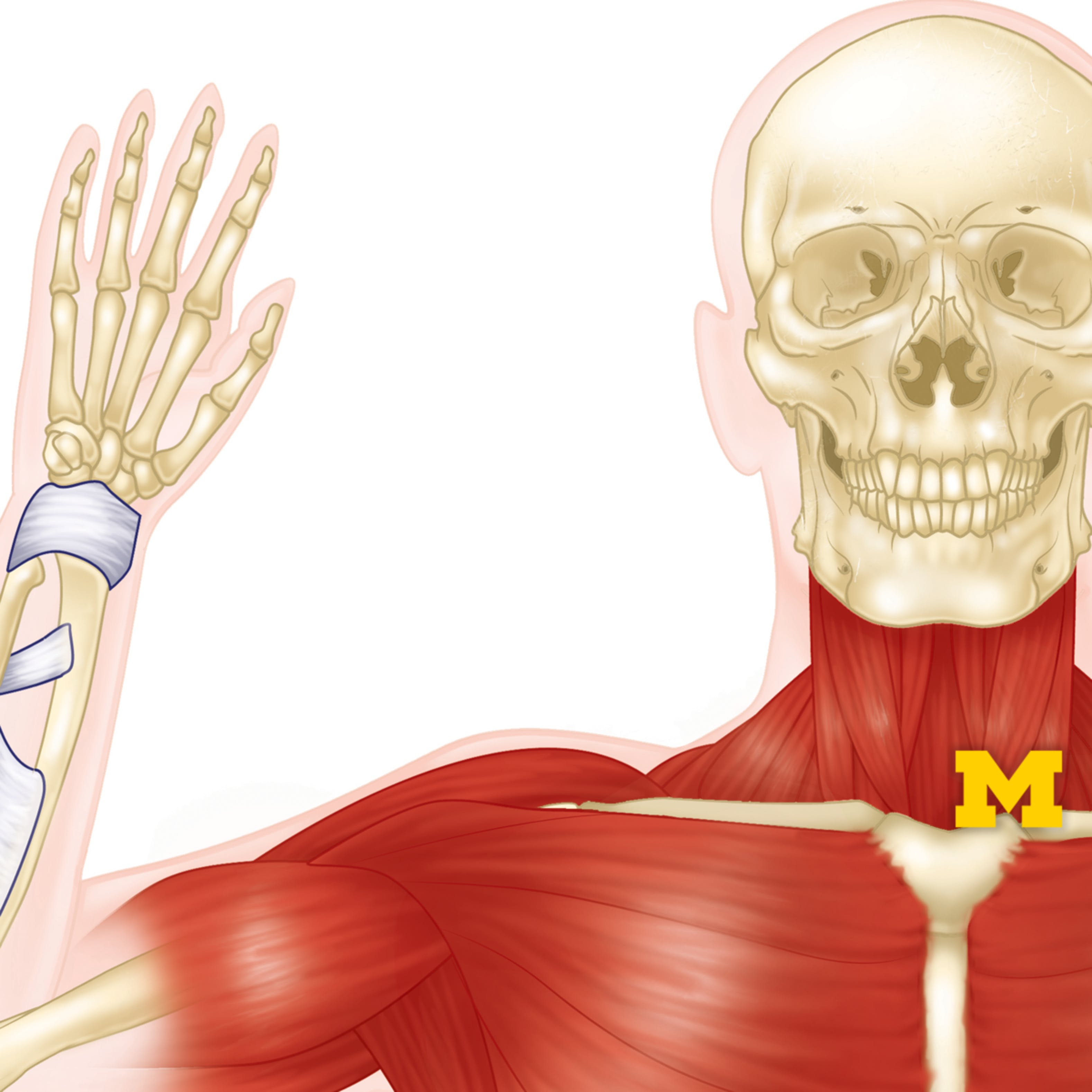 Anatomy Musculoskeletal And Integumentary Systems Coursera