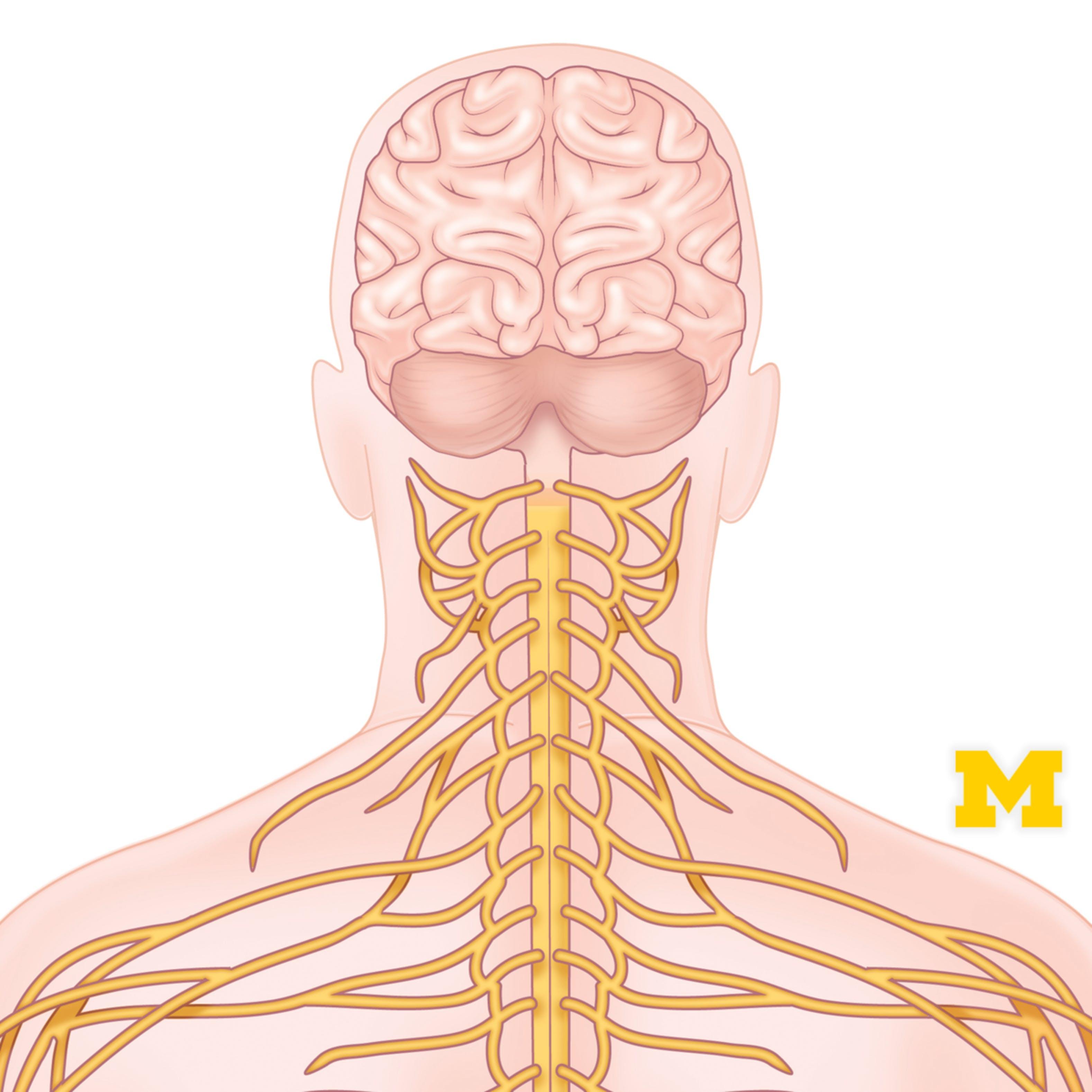 Anatomy: Human Neuroanatomy   Coursera