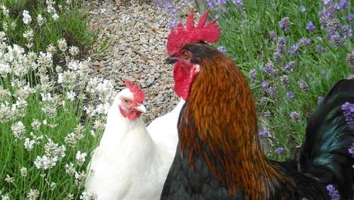 鸡的行为与福利