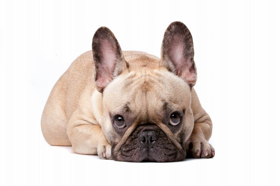 狗的情感与认知