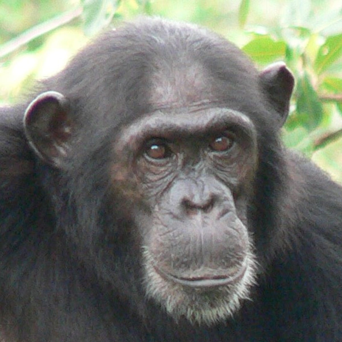 Chimpanzee Behavior and Conservation